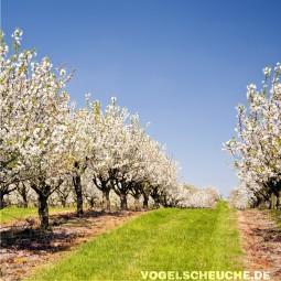 Frühjahr - Obstbau - Apfelbäume - Staare verscheuchen