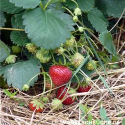Frühjahr - Ackerbau - Erdbeerfelder - Tauben verjagen