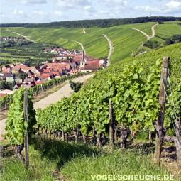 Herbst - Weinbau - Weinreben - Raben abwehren