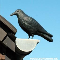 Rabe als Taubenschreck: Standorte und Funktion
